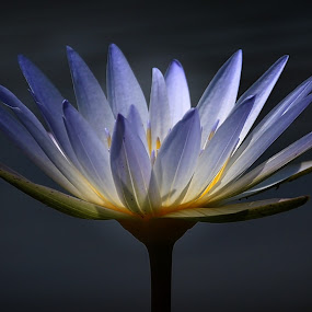 lotus flower by Abbiel Tonny - Nature Up Close Flowers - 2011-2013
