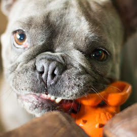 play? by Meaghan Browning - Animals - Dogs Portraits ( frenchie, desire, toy, play, french bulldog )