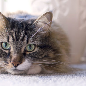 Lovely Laying on The Floor by Ryan Li - Animals - Cats Portraits ( looking, kitten, cat, clean, floor, lay, funny, lovely, interesting, animal )