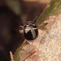 Black Stink Bug - beetle mimic
