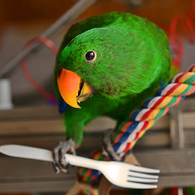 Hungry Bird by Kamila Romanowska - Animals Birds ( bird, eclectus parrot, pet, green, parrot, eclectus roratus, eclectus, , #GARYFONGPETS, #SHOWUSYOURPETS )