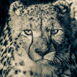 Cheetah sepia by Dirk Luus - Black & White Animals ( predator, cheetah, animal, portrait, wildlife )