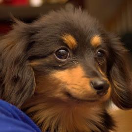 Gizmo Douglas by Liam Douglas - Animals - Dogs Portraits ( ham, pose, brown, dog, gizmo, black )
