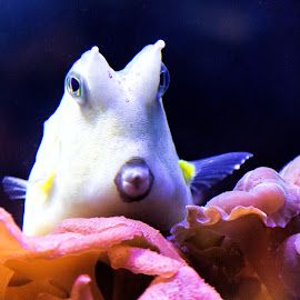 Pucker up by Kimmi Walrath Doerr - Animals Fish ( water, nature, fish, under the sea, animal )