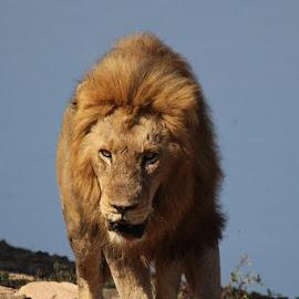 Lion by Marelize Van Heerden - Animals Lions, Tigers & Big Cats ( wild, animals, nature, wildlife, lions )