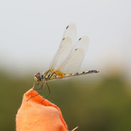 Fly by Dharmendra  Singh - Animals Insects & Spiders ( insect, insects, flies )