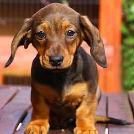 I Think I Might Fly! by Chrissie Barrow - Animals - Dogs Puppies ( pup, portrait, eyes, red, pet, dachshund (miniature smooth), ears, fur, puppy, legs, brown, dog, nose, tan )