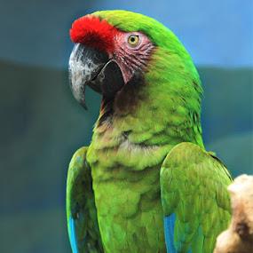 Green Parrots by Joseph Basukarno - Animals Birds ( canon, bird, parrots )