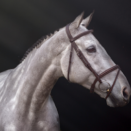 Copyright by Erik Kunddahl - Animals Horses ( equine, riding, equstrian, horse, white, ridingsport, nikon )