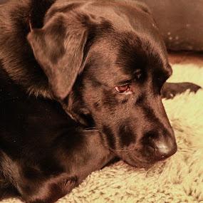 I'm Sorry! by Meeta Thakur - Animals - Dogs Portraits ( animals, labrador, dog, photography, portrait )