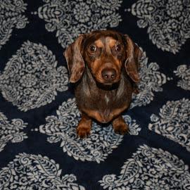 Bashful brandy by Melissa Allen - Animals - Dogs Portraits ( chocolate, dapple, dachshund, shy, dog, portrait, mini )