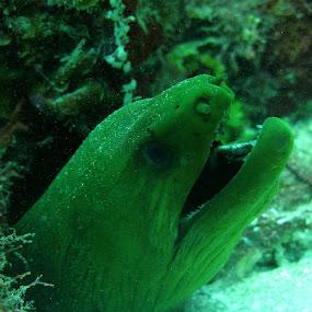 by Michael Nania - Animals Sea Creatures ( eel, moray, utila, honduras )