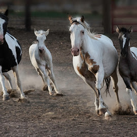 by Helen Bradshaw - Animals Horses ( mares, gallop, fouls,  )