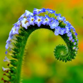 by Eko Adiyanto - Nature Up Close Flowers - 2011-2013 ( duplicate of a duplicate of a duplicate )