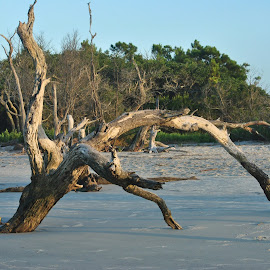 Driftwood by Prentiss Findlay - Landscapes Beaches ( driftwood trees, beach driftwood, beach trees, trees on erosional beach, erosional beach trees )
