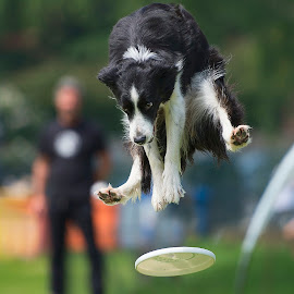 Ops by Claudio Piccoli - Animals - Dogs Playing ( dogs, border collie, jumping, pet, border, dog, frisbee, disc dog, jump )