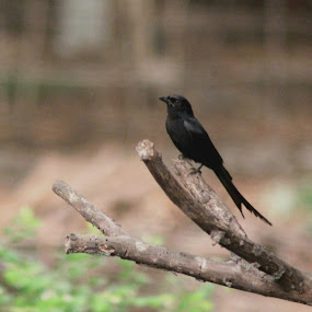 Black Drongo (कोतवाल) by Hanif Tadvi - Animals Birds