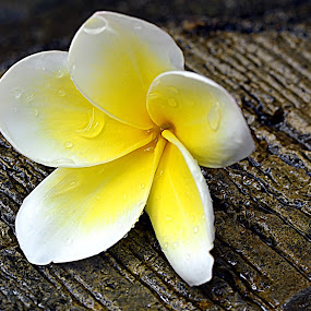 Bunga Kamboja by Koento Birowo - Nature Up Close Flowers - 2011-2013 ( bunga, nature, indonesia, kamboja, flower )