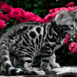 Total Cuteness  by Rob Ebersole - Animals - Cats Kittens ( bengal kitten cat )