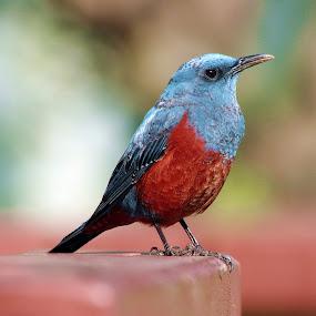 by Indra Fardhani - Animals Birds (  )