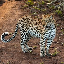 Leopard by Simon Joubert - Animals Lions, Tigers & Big Cats ( cat, female, reserve, game, simon joubert, phinda, leopard, private )