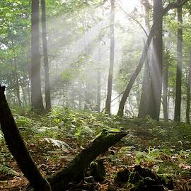 by Siniša Almaši - Nature Up Close Trees & Bushes ( forest, sunlight, colors.green, nature, light, grass, natural light, tree, trees, mist, morning )