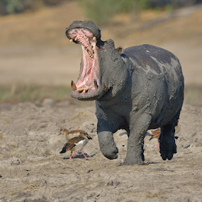 Angry Hippo by Neal Cooper - Animals Other Mammals ( hippo, hippopptamus, running, yawn )