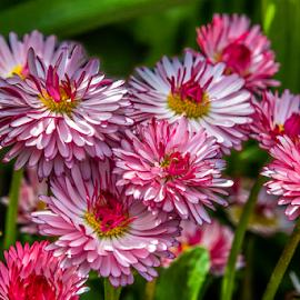 Daisy by Darren Sutherland - Flowers Flower Gardens