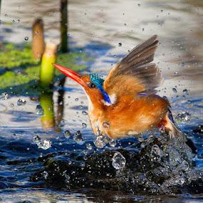 Bathtime by Neal Cooper - Animals Birds
