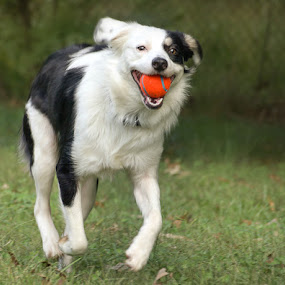 I Got It! by Christy Borders - Animals - Dogs Playing ( ball, outdoors, play, puppy, australian shepherd, dog, running )