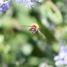 Bee in Flight by Mel Bishow - Animals Insects & Spiders ( © mel bishow,  )