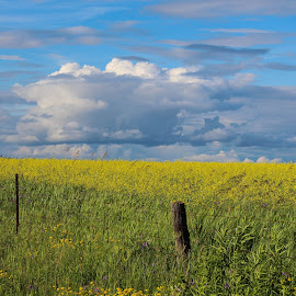 Canola and Clouds by Tammy Drombolis - Landscapes Prairies, Meadows & Fields