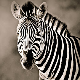 Zebra Portrait by Pieter J de Villiers - Black & White Animals