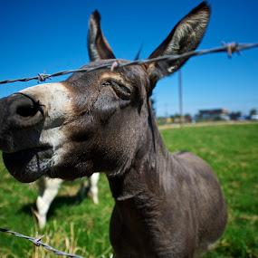 My Bud by Edin Chavez - Animals Horses ( funny animals, farm, california, donkey, horse )