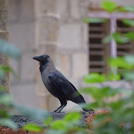 Crow by Rahul Manoj - Novices Only Wildlife ( bird, window, green, plants, black )