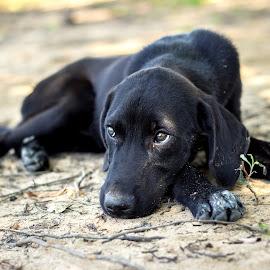 Puppy Dog Eyes by Rob Heber - Animals - Dogs Puppies ( retriever, sad, labrador, lab, domestic, portrait, eyes, canine, pet, puppy, paws, dog, black, animal )