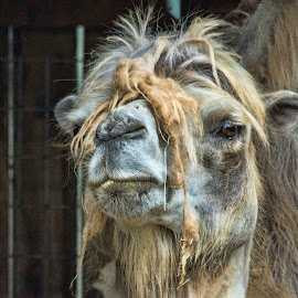 Fluffy by Sheen Deis - Animals Other Mammals ( molting, zoo animals, camels, desert animals, fluffy,  )
