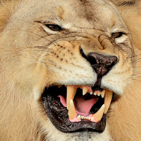aggressive by Alan Potter - Animals Other Mammals ( lion, cat, wildlife, mammal )