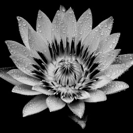 Waterlily  by Asif Bora - Black & White Flowers & Plants