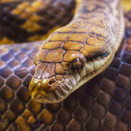 Scales by Amanda Daly - Animals Reptiles