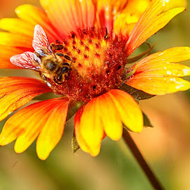 Be on a yelloe flower by Radu Eftimie - Animals Insects & Spiders ( bee, yellow, flower )