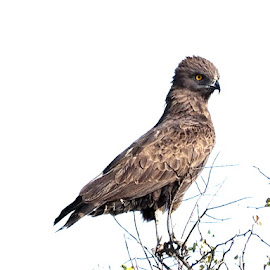 Brown Snake Eagle by Bjørn Borge-Lunde - Digital Art Animals ( bird, wilderness, bird of prey, nature, wildlife, africa, animal )