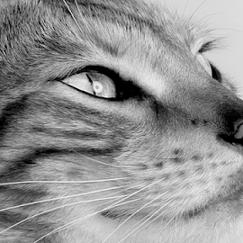 Bengal with  catch light in  eye by John Cuthbert - Animals - Cats Portraits (  )