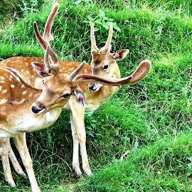 Deer by Andjela Miljan - Animals Other