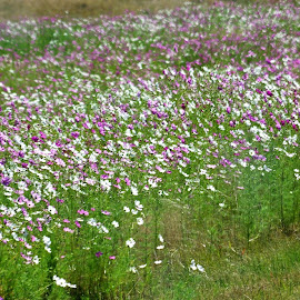 Cosmos Fields by Ingrid Anderson-Riley - Landscapes Prairies, Meadows & Fields