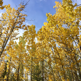 Standing Tall by Patricia Phillips - Nature Up Close Trees & Bushes ( trees. birch autumn golden )