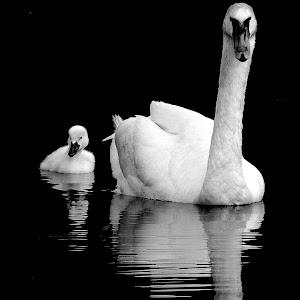 swans bw.jpg