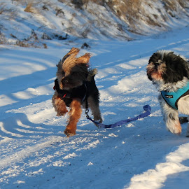 by Maddie Siemens - Novices Only Pets ( dogs, snow, cute, running, race )