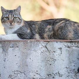 Gatto by Mauro Amoroso - Animals - Cats Portraits