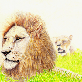 King & Queen by Paul Murray - Drawing All Drawing ( pencil, lion, nature, wildlife, colored pencils, drawing )